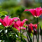 Pink Lily-Like Tulips by Gary Chapple