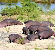 Hippos on the riverbank, South Africa by Margaret  Hyde