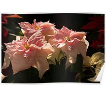 Sunny Pink Poinsettias Poster