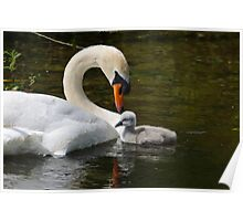 Connection, male mute swan and chick, Barrow Navigation, County Carlow, Ireland Poster