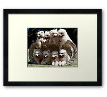 Samoyed Puppies Framed Print