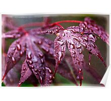Japanese Maple (1) Poster