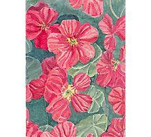 Nasturtium flowers Photographic Print