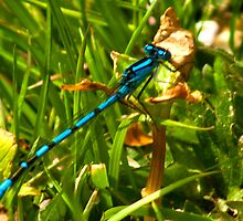 Azure Damselfly by Trevor Kersley
