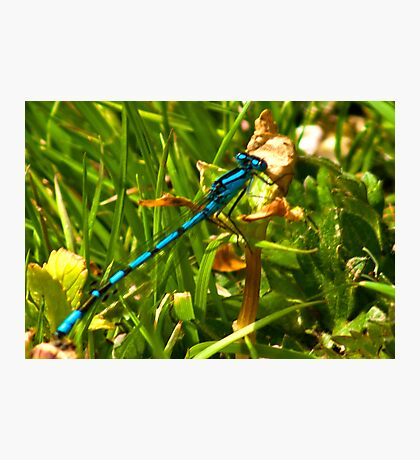 Azure Damselfly Photographic Print