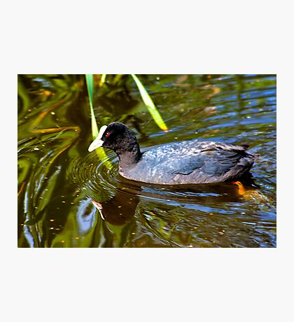 Coot Photographic Print