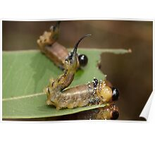Long-tail Sawfly Larva Poster