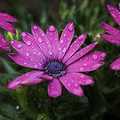 Wet Flowers by davesphotographics