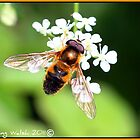 """A golden Dronefly hoverfly"" by Aisling Walsh"