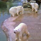 Polar Bears by AnnDixon