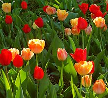Spring Tulips by thegforcers