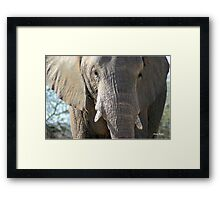 """""""Holding back"""" elephant (loxodonta africana) - Botswana Framed Print"""