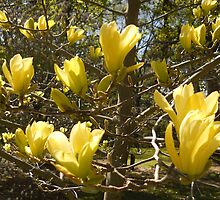 Yellow Magnolia In Bloom by Heidi Snyder