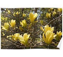 Yellow Magnolia In Bloom Poster