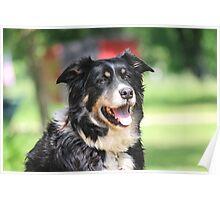 Pup, our  Australian Shepherd  Poster