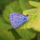 Holly Blue by Dave Godden