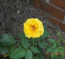 Yellow Rose #163 by steeltrap