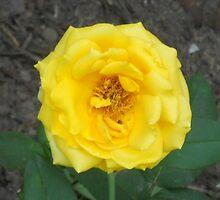 Yellow Rose #167 by steeltrap