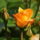 Yellow Rose  by Elaine123