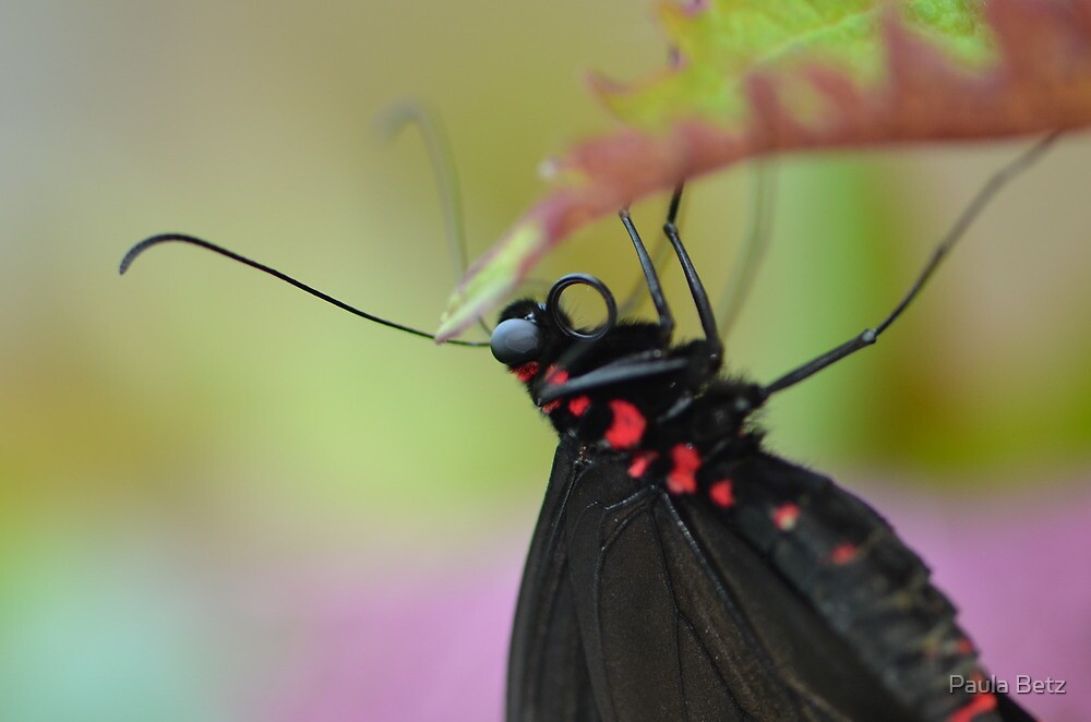 Black and Red Butterfly, Scarlet Mormon by Paula Betz