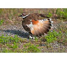 Killdeer Displaying Photographic Print