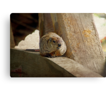 How much wood would a woodchuck chuck if a woodchuck could chuck wood? Metal Print