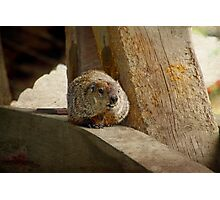 How much wood would a woodchuck chuck if a woodchuck could chuck wood? Photographic Print