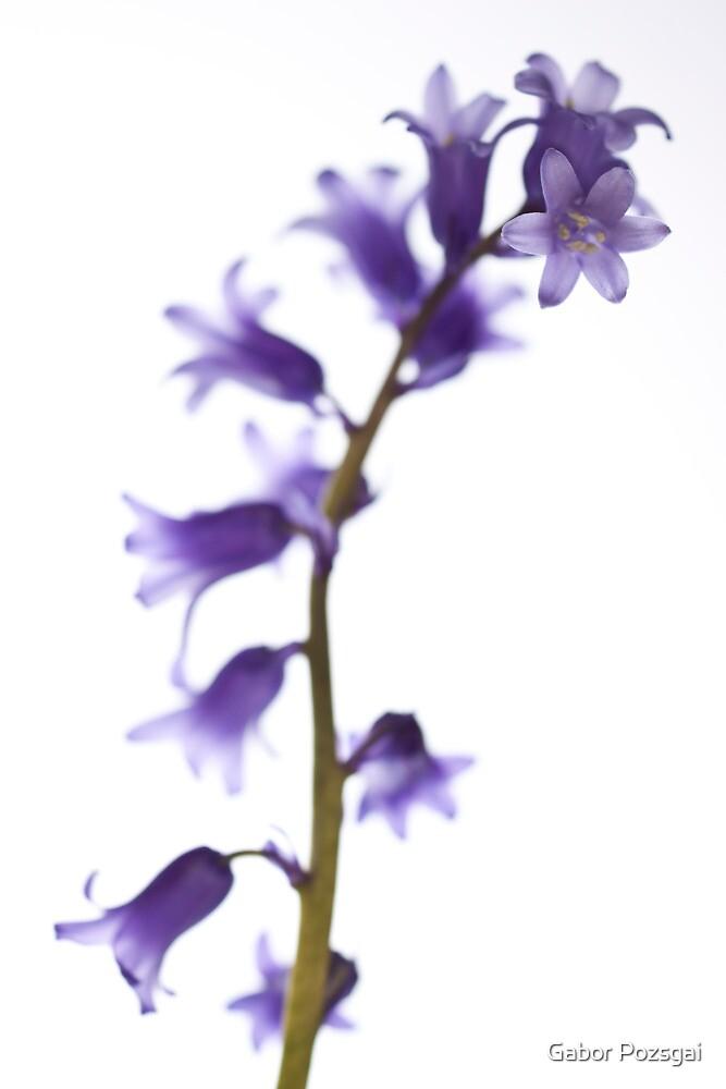 Common bluebell (Hyacinthoides non-scripta) by Gabor Pozsgai