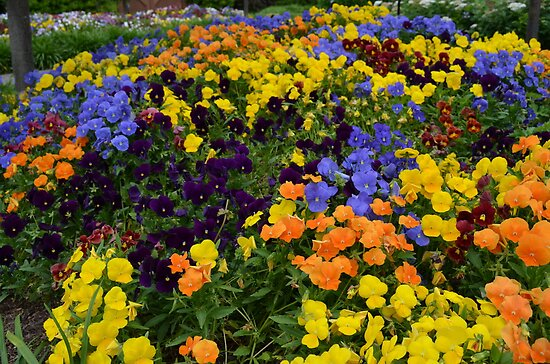 Fields of Brightly Colored Pansies by Paula Betz