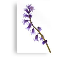 Common bluebell (Hyacinthoides non-scripta) Canvas Print