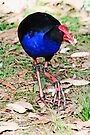 Eastern Swamphen by Evita