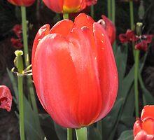 RED Tulip by VikasGupta