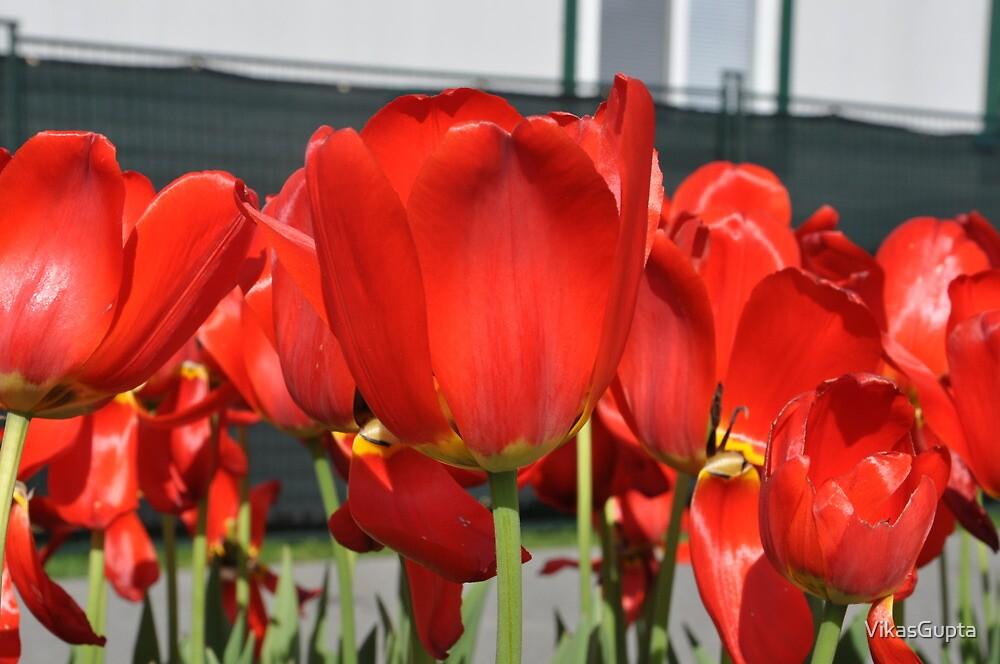 Red Tulips by VikasGupta