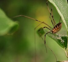 Grandaddy Long Legs by Andrea Morris