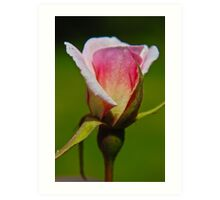 Pink Bud Art Print