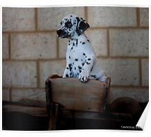 Dalmatians Puppy Poster