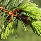 Water pine by Erin LeFevre-Josephs