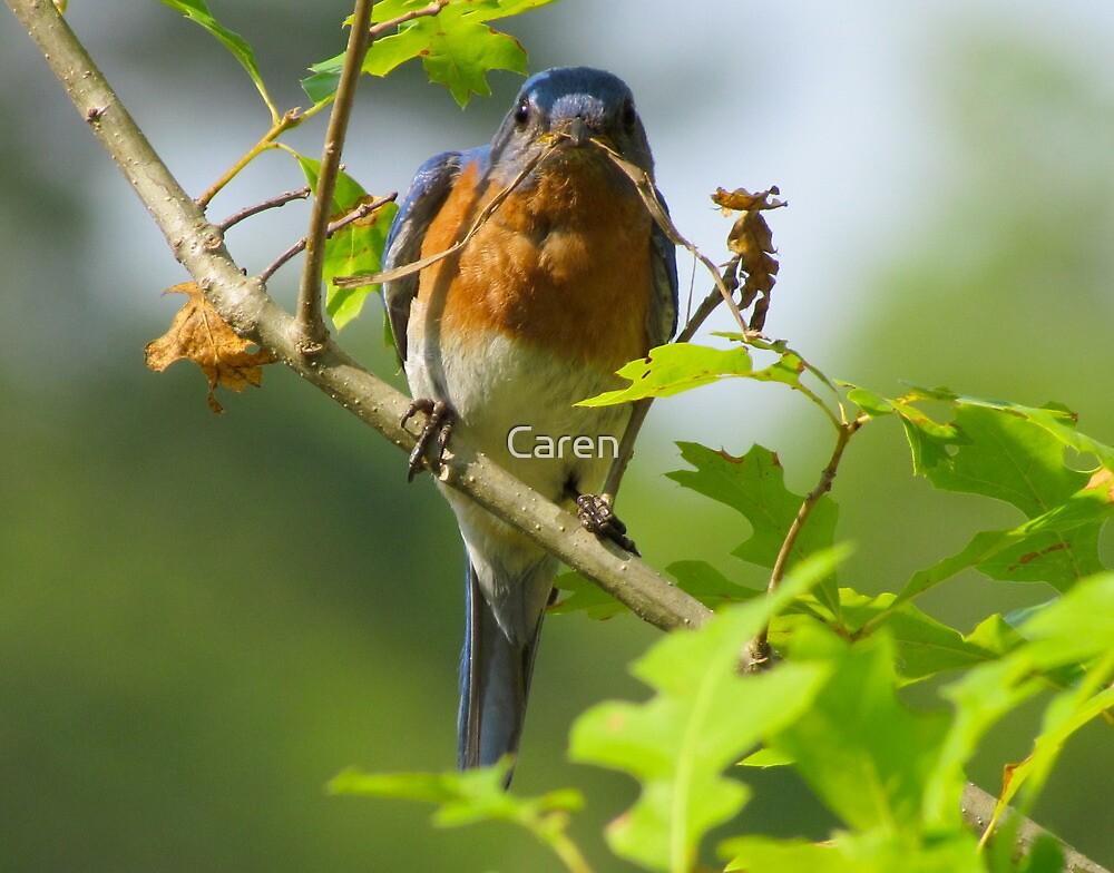 Mr. Bluebird Builds a Nest by Caren