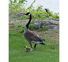 Goose mother & chick Photographic Print