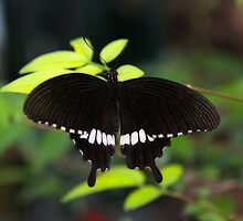 Black butterfly by papillonphoto