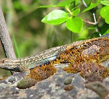 Blue Belly Fence Lizard by Dave Sandersfeld