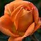 Rose of  Orange by Joy Watson
