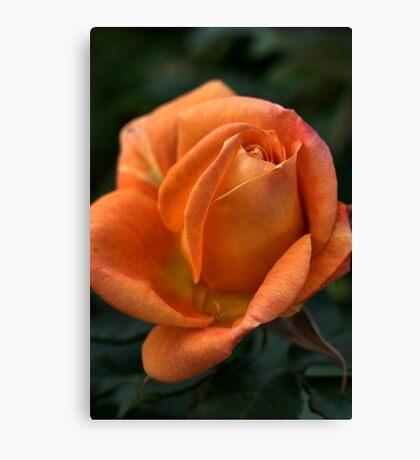 Rose of  Orange Canvas Print