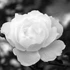 White Spring Rose, Chelsea by Julian Raphael Prante