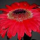 Gerbera Macro by Laurast