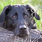 Black Lab by Laurast