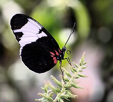 Butterfly on Plant by Laurast