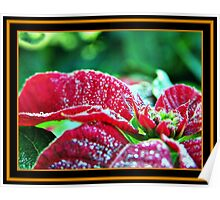 Poinsettia (pinhead sized dewdrops) Poster