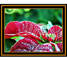 Poinsettia (pinhead sized dewdrops) Photographic Print