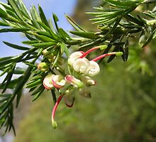 At last! a flower on my new grevillea 'Hills Jubilee' by Rita Blom